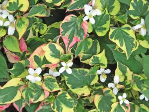 Ground covers are supposed to spread quickly, but some can be impossible to control. Don't plant these thugs anywhere near your garden or yard.: Chameleon Plant (Houttuynia cordata)