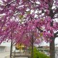 La increíble floración del árbol del amor
