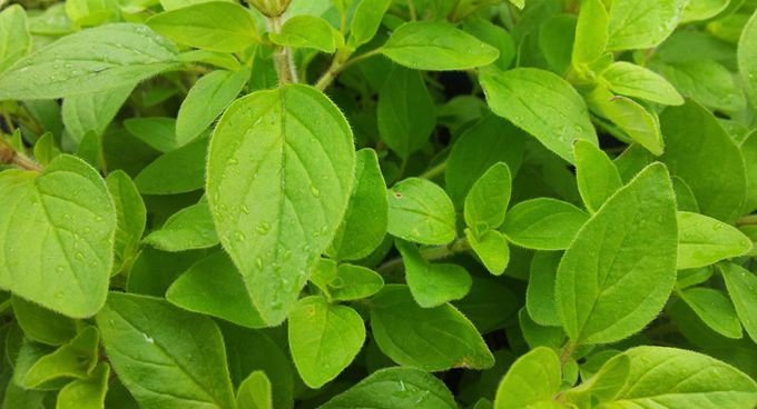 Marjoram♥100%Pure and Natural AROMATHERAPY Essential Oil 100ml♥For Diffuser Spa♥