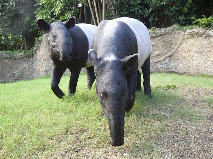 Was ist eigentlich dieser Regen, von dem immer alle reden? Wir kennen nur regenfreie 26 Grad hier in Gondwanaland!  It's raining outside? But not in Gondwanaland! . . . . #zoo #zooleipzig #gondwanaland #norain #tropisch #tropical #sommerinleipzig #sommerindeutschland #sommerferien #ferien #tapir #tapire #rain #rainy #rainyday #rainydays #rainyweather #haveaniceday #regen #regenwetter #regentag  #animalsofinstagram #leipzig #ig_leipzig #igers #dresden #halle #chemnitz