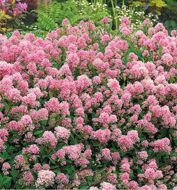 Les 318 meilleures images du tableau arbustes et vivaces for Plantes arbustes vivaces