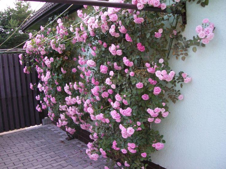 naše popínavé růže