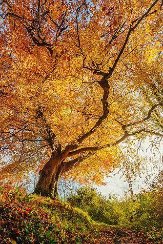 Belvoir Forest Tree From Below, Autumn in Belfast.