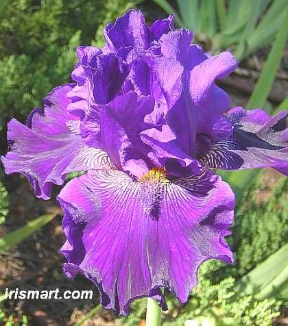 Approach Shot tall bearded iris
