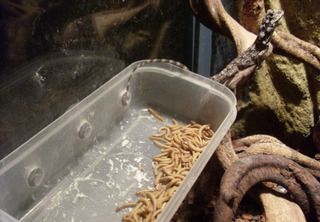 How to make a reptile feeding dish with suction cups