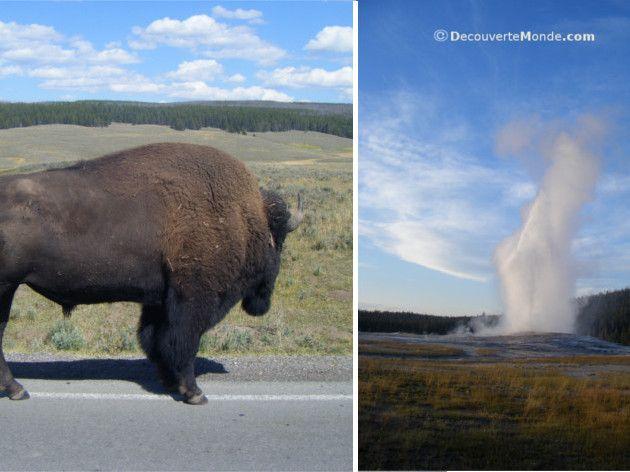Parc national de Yellowstone dans le wyoming lors de mon road trip dans l'ouest américain au volant d'une vieille van 1979 à parcourir les plus beaux parcs nationaux des États-Unis. Les bisons et les activités géothermiques tels que les geysers sont à l'honneur sur cet énorme volcan actif.