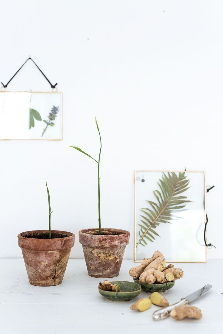 as 20 melhores ideias de ingwer pflanzen no pinterest ingwer anbauen heilkr uter kaufen e. Black Bedroom Furniture Sets. Home Design Ideas