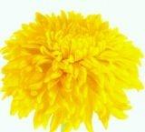 Chrysanthemum 'Golden Lion'