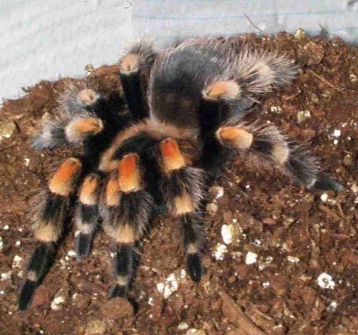 Tarántula nombre aplicado a cualquiera de las arañas grandes y de patas fuertes. Originalmente, se dio este nombre a una especie de araña lobo europea cuya picadura no es peligrosa.