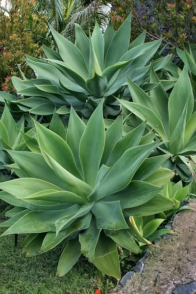 Agave attenuata...soft, lush growth and no spines, but it is frost tender.