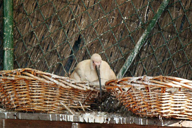 Pollo de ibis blanco nacido en cautividad en el parque zoológico de Avifauna