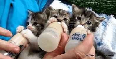 Süt içen yavru kediler