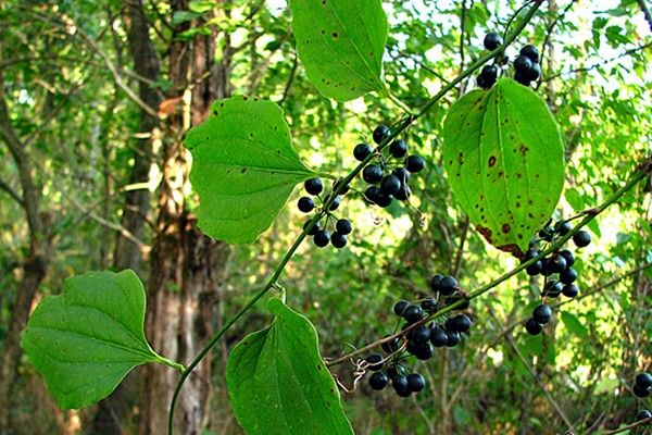 Greenbrier Smilax Rotundifolia berries are edible. berries ...