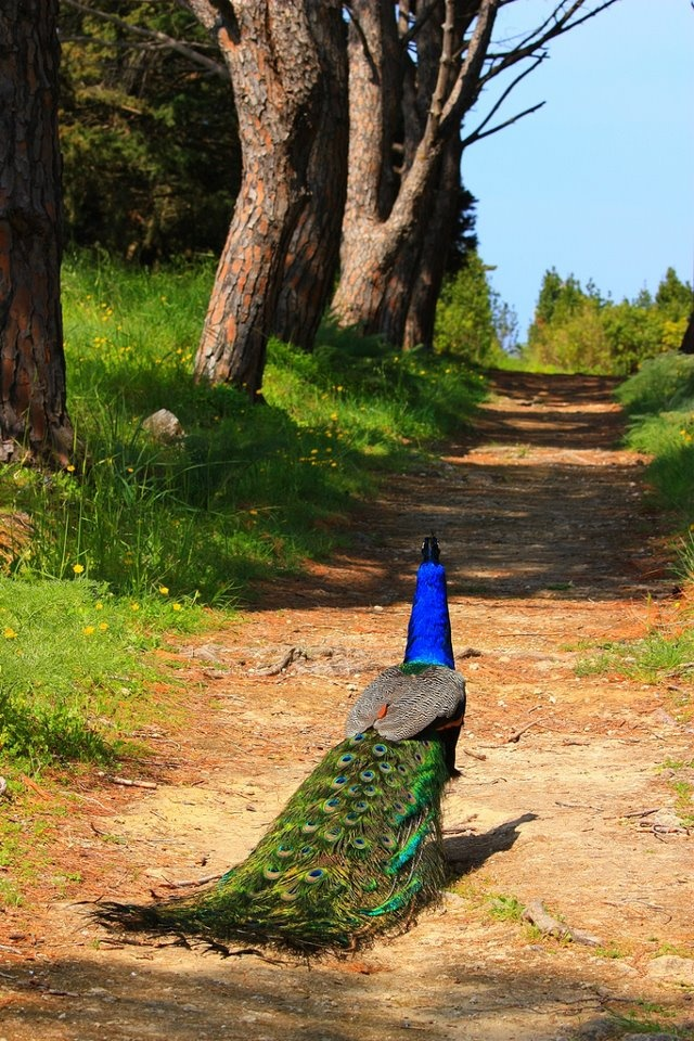 Peacock strolling on a path at Filerimos Mount. Rhodes Island, Dodecanese, Greece (photo by Marie Therese Magnan).