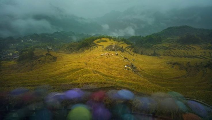 Hills covered in yellow rice plants with misty clouds behind: These rolling hills show golden rice in the #Zhejiang Province in China, photographed by #ShaofengZhang.