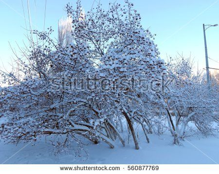 Snow on the branches of trees in the frosty morning close-up