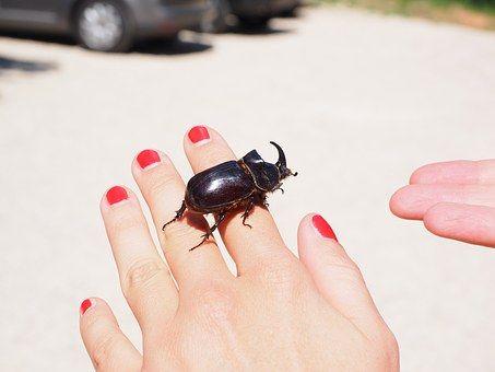 Escarabajo Rinoceronte, Escarabajo