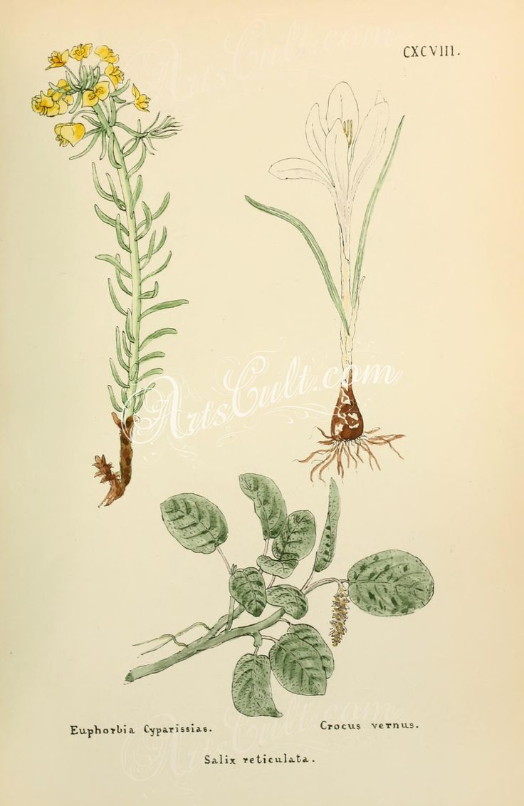euphorbia cyparissias, crocus vernus, salix reticulata      ...