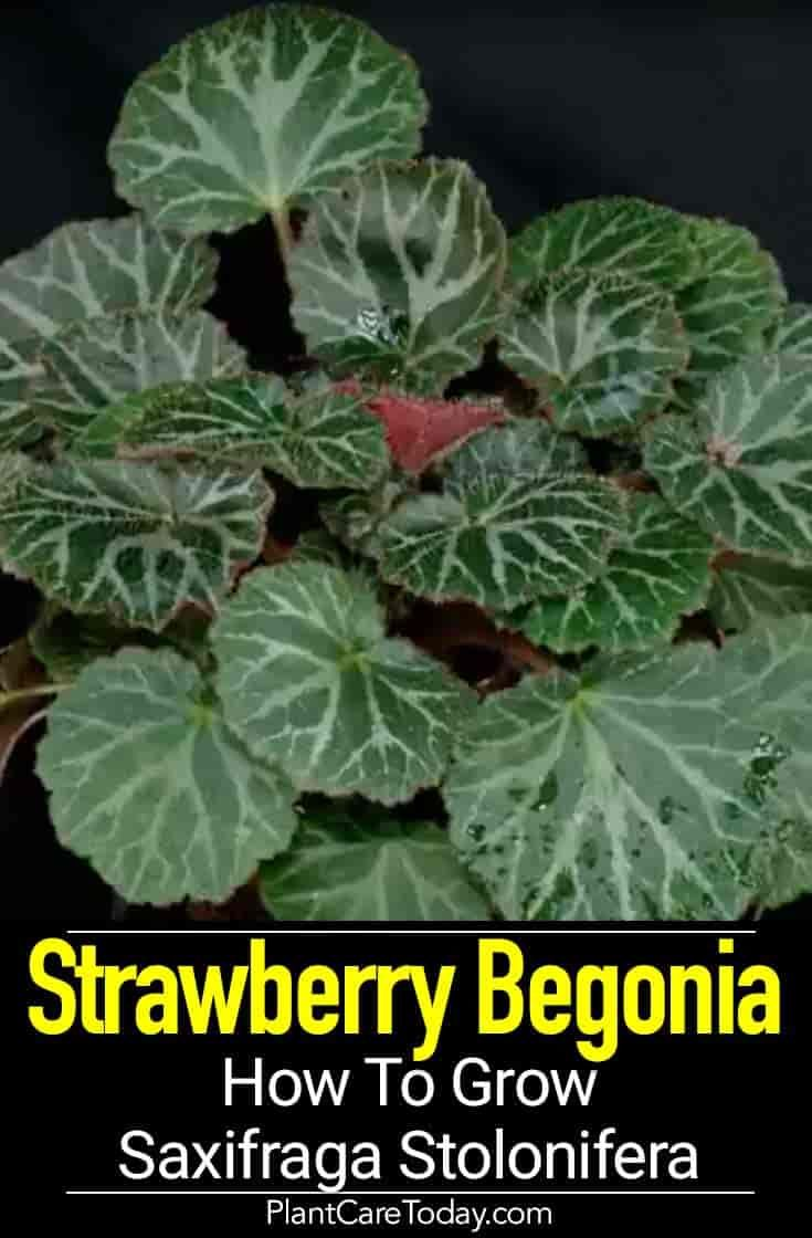 Strawberry Begonia Care How To Grow Saxifraga Stolonifera Begonia Plant Care Houseplant Plant Care
