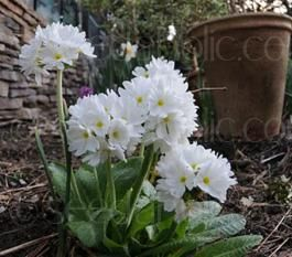 "Primula denticulata ""White""Drumstick primula"
