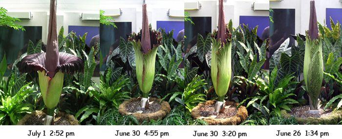 Flor Cadáver - Amorphophallus titanum