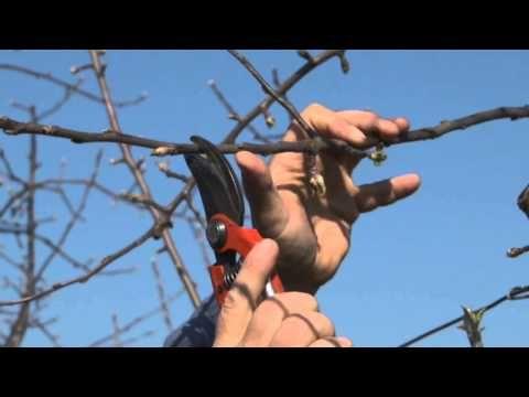 Vedieť strihať ovocné stromy je umenie - YouTube