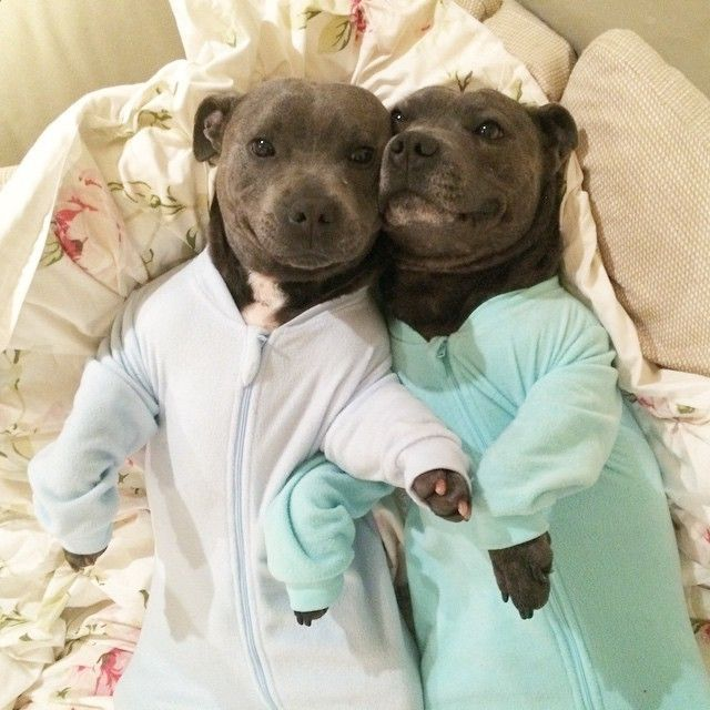 Pit Bull Photos That Prove They're The Snuggliest, Silliest, Coolest Dogs On The Block