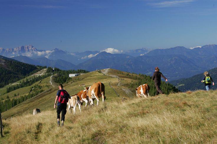 Runter von der Alm heißt es jeden September für die Kleinkirchheimer Kühe