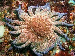 sytarfish  at least 2 1/2 feet accross (Stefanie D. of Shelton, WA