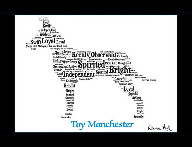 Traits of the Toy Manchester Terrier In Manchester, England, crosses between the Black and Tan Terrier ratters and the Whippet racers created the dog known since about 1860 as the Manchester Terrier.