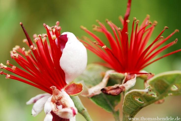 Brasilianische Guave (Foto: Thomas Hendele)