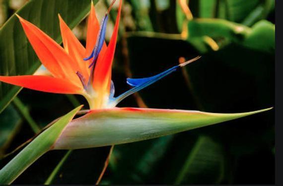 Bird Of Paradise Etsy In 2020 Birds Of Paradise Plant Birds Of Paradise Flower Paradise Flowers