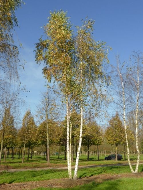 Betula pendula #tree #multitrunk #multistem www.vdberk.co.uk