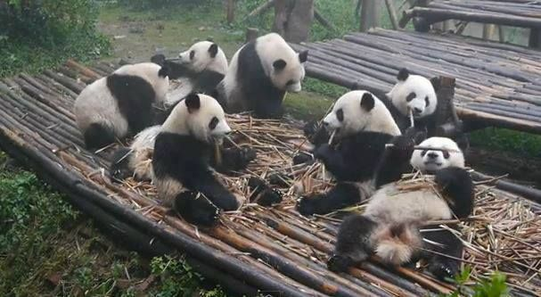 Pandas having Breakfast