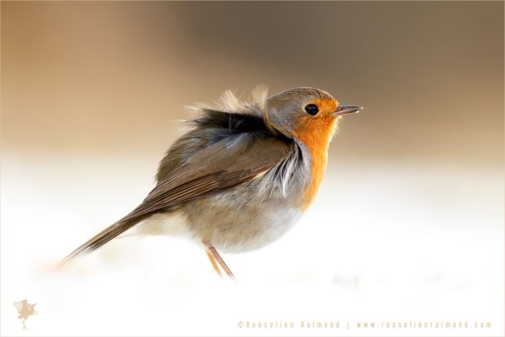 roeselienraimond.com | Facebook | Blog | Facebook European Robin (Erithacus rubecula) on one of the few wintry hours we had this year. But hey, at least we had some! http://thrumyeye.deviantart.com/art/