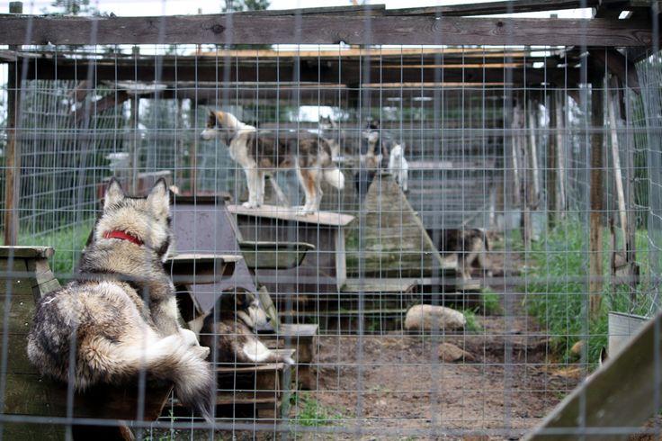 Huskytarhalla pääsee tutustumassa rekikoirien kesälomaan. Tarhalla asustaa 200 huskya ja muutamia poroja.
