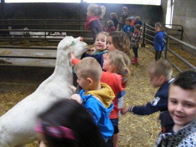 BS De #Firtel uit #stramproy | de groepen 1-2-3 gingen op bezoek bij de #geitenboerderij van de fam. Indenkleef in Altweerterheide.