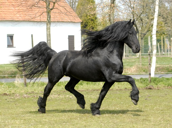 friesian horses animals netherlands - photo #15