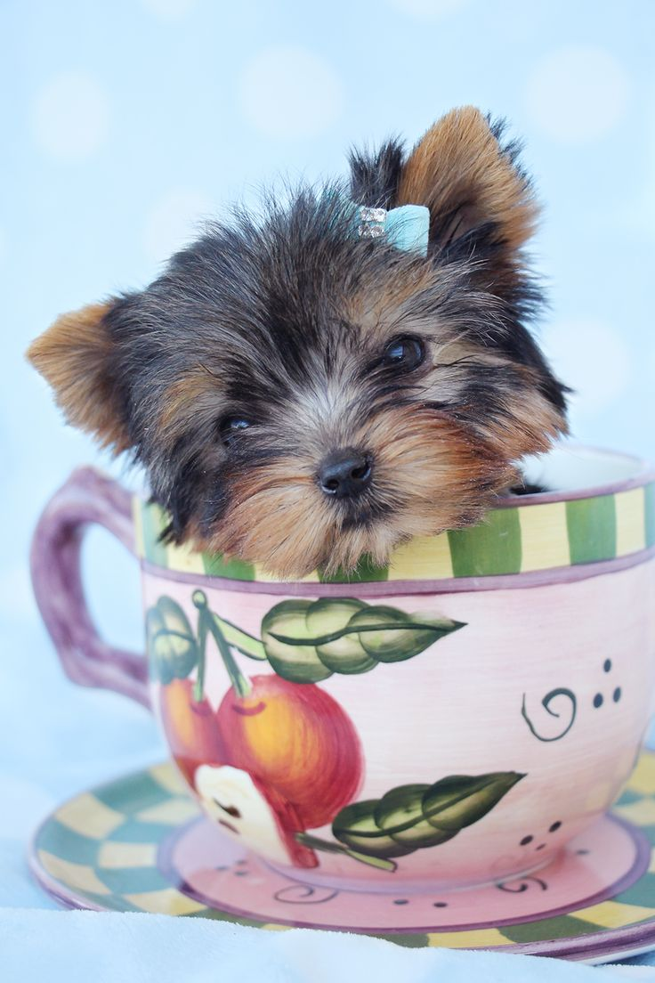 24 best yorkie puppies images on Pinterest | Animals, Puppies and ...