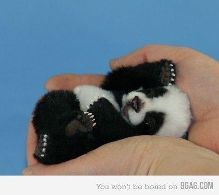 Panda baby #cute #aww #pets #need #lol #funny