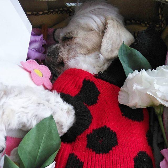本年12月に実家の愛犬はなが11歳にて永眠いたしましたので、年始の挨拶は控えさせて頂きます。  まだまだ涙も枯れない。 寝てるみたいだぁ。 18日にお葬式もすませた。 私がまだ結婚する前に買ってて死んでしまった柴犬のみみちゃんも道路拡張やらでやばくなってきたので、お墓を掘り上げに行った。赤の首輪。頭の骨、足の骨とか歯も出てきた。箱詰めしなおして、ハナの隣にお墓を作り直した。みみちゃんもはなもどっちも17日に亡くなった。月命日が一緒。何か考えるなぁ。…