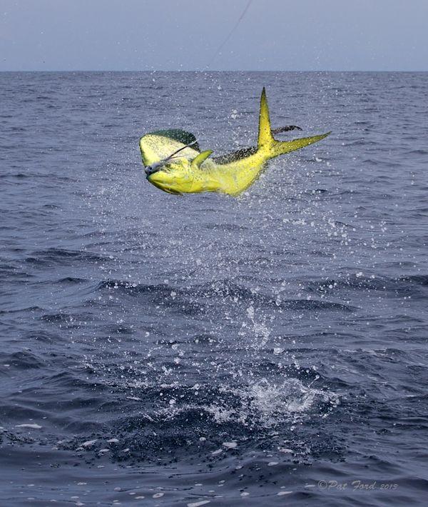 71 best images about salt life on pinterest mahi mahi for Dolphin deep sea fishing