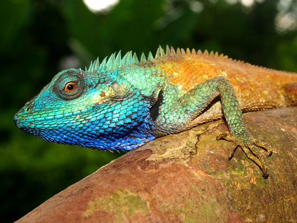Scientists have identified a new bright blue lizard hiding in plain sight. This lizard, found in Vietnam and named Calotes bachae, had long been thought to be another blue lizard species found in Myanmar and Thailand.