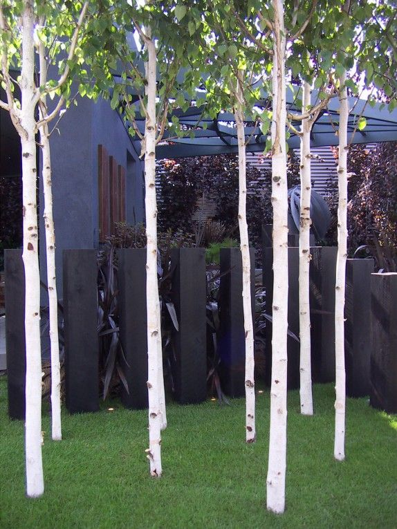 Silver birch trees www.andersonlandscapedesign.co.uk/blog