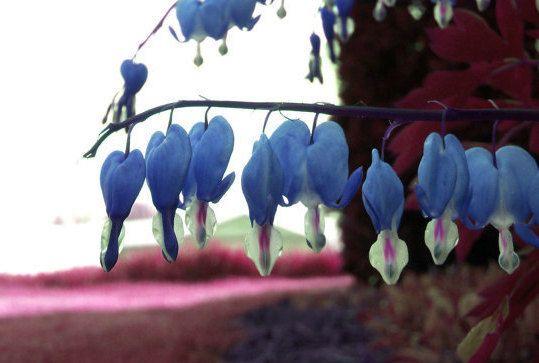 Flor de corazón sangrante azul.