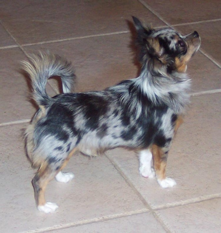 Blue Merle Teacup Chihuahua Puppies Sale ~ FUROSEMIDE