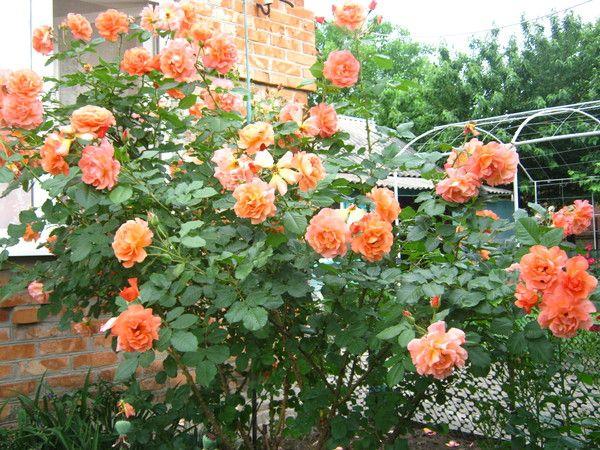 westerland rose strong clove rose spice fragrance. Black Bedroom Furniture Sets. Home Design Ideas