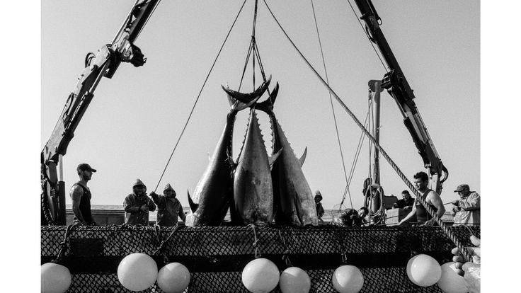 Atlantic bluefin tuna are among the most hunted species on the planet and one of the best ways to see the effects of an increasingly industrialized food chain. But for a few short weeks during early summer on Spain's southern coast, an ancient ritual known as the almadraba still plays out—an intense, intimate, and violent tradition that strives to harvest some of the world's most valuable seafood in a sustainable manner.