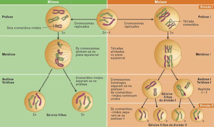 Desconversa | Como ocorrem os processos de mitose e meiose?