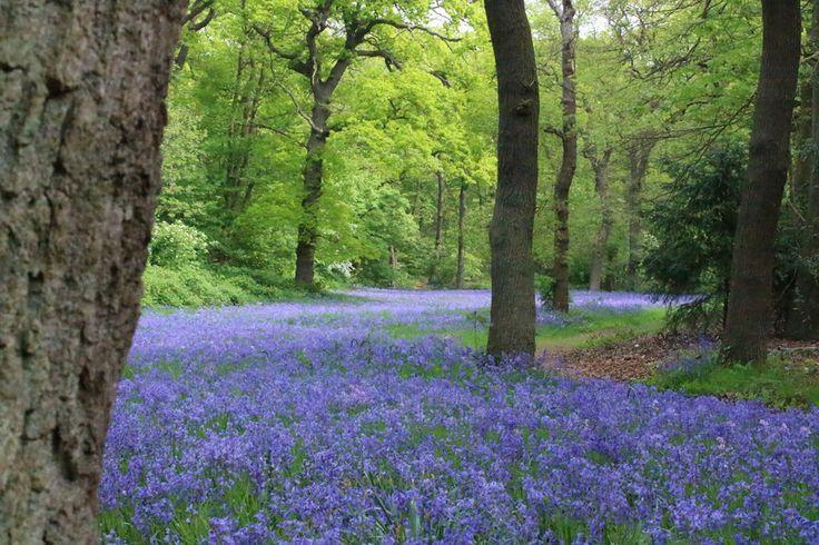 Bluebells / Wilde Hyacint (Hyacinthoides non-scripta), Park Sorghvliet by…